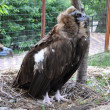 Griffon Vulture — Stock Photo #29315093