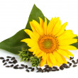 Blossoming sunflower — Stock Photo