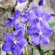 Orchid violet — Stock Photo