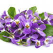 Flower violet  — Stock Photo