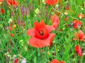 Red flowers of poppy — Stock Photo
