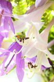 Purple white campanula — Stock Photo