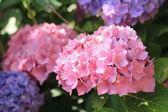 Hydrangea hortensia — Stock Photo