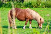 Braune streifen shetlandpony — Stockfoto