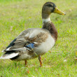 Dutch male duck — Stock Photo