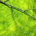 Постер, плакат: Leaf Veins
