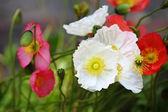 Colorful Poppies — Stock Photo