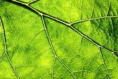 Leaf Veins — Stock fotografie