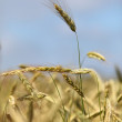 Stock Photo: Rye Cornstalk