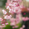 Cherry Blossom Bough — Stock Photo