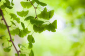 Ginkgo in the Light — Stock Photo