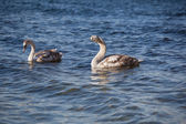 Swan Gymnastic — Stock Photo