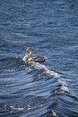 Schwimmen-schwan — Stockfoto