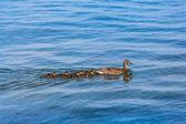 All Little Ducklings Behind Mom — Стоковое фото