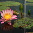 Floating Pink and Yellow Lotus Floating Flower — Stock Photo #28586541