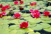 Red Lotus flowers — Stock Photo