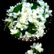 Jasmine flowers — Stock Photo