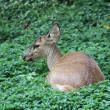 Deer in the zoo — Stock Photo