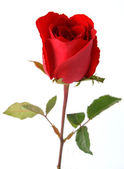 Beautiful rose isolated on white background — Stock Photo