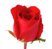 Beautiful rose isolated on white background — Stockfoto