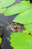 Brown toad in a lily pond — Stock Photo
