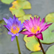 Stock Photo: Pink lotus blooming in pond