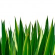 Panoramic Green leaves on white background — Stock Photo #40397421