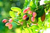 Crimson fruit or Koromcha on the tree. — Stock Photo