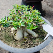 Azalea trees grown in pot — Foto Stock