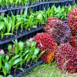 Seedlings of oil palm — Stock Photo