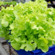 Stok fotoğraf: HYDROPONIC vegetables grown in blue plastic containers.