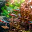 Neon tetra — Stock Photo
