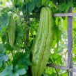 Bitter gourd-bitter melon-bitter cucumber-balsam pear — Stock Photo