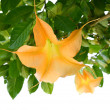 Stock Photo: Yellow Angel Trumpets Flowers