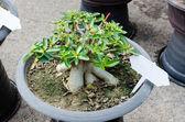 Azalia drzew uprawianych w puli — Zdjęcie stockowe