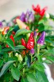 Ornamental Chili - Bolivian Rainbow Chili — Stock Photo