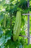 Bitter gourd-bitter melon-bitter cucumber-balsam pear — Stock Photo