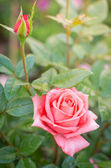 Beautiful pink rose in a garden — Fotografia Stock