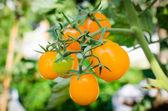 Fresh yellow tomatoes — Stock Photo