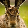 Stock Photo: Europehare closeup portrait