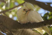 Little corella couple in courtship — Stock Photo