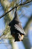 Pteropus cabeza gris — Foto de Stock