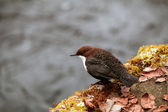 White-throated dipper on a mossy rock — 图库照片