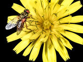 Hoverfly on a yellow flower macro — Stock Photo