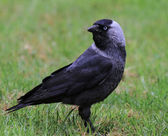 European jackdaw on grass — Stock Photo