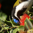 Male blue-faced honeyeater detail closeup — Stock Photo