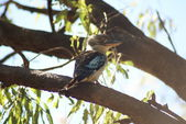 Blue-winged kookaburra female — Stock Photo