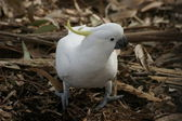 Sulphur-crested cockatoo profile portrait — Stock Photo