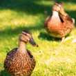 Two female mallards on a lawn — Stock Photo