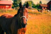 Chestnut horse portrait in the warmth of summer — Stock Photo